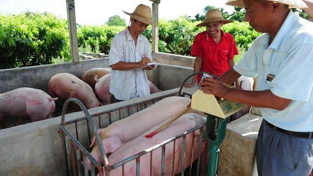 養豬3個消息:1好2壞,養豬人要提前做好準備,附13日豬價-圖2