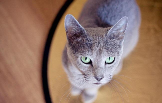 """俄羅斯藍貓——有著""""短毛種之貴族""""的美譽,並帶有東方的韻味-圖7"""