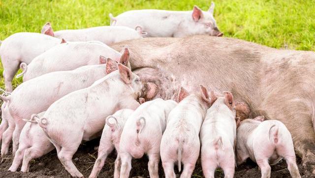 8月31日豬價又是8漲,豬肉回歸15元有多難?答:3個阻力-圖6