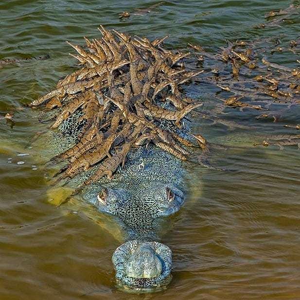 """印度鱷""""爹王""""與數隻雌鱷生崽,載數百隻鱷魚寶寶過江,畫面震撼-圖3"""