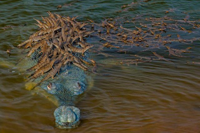 """印度鱷""""爹王""""與數隻雌鱷生崽,載數百隻鱷魚寶寶過江,畫面震撼-圖4"""