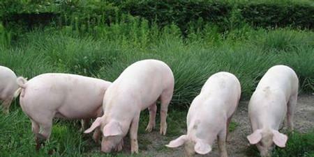 豬價11連跌成斷崖式狀態,10元豬肉時代將來臨,聽專傢怎麼說-圖3