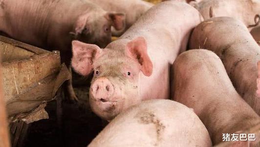 """豬價""""11連跌""""全國20省飄綠,一個好消息!豬價上漲即將來襲!-圖4"""