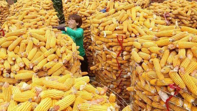 玉米價格再創年內高點!10月後,或出現下降-圖6