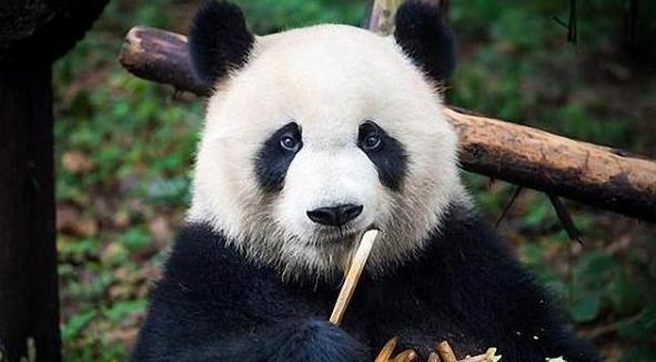 丟人!特朗普對中國熊貓下黑手,遭美國民眾抵制!-圖2