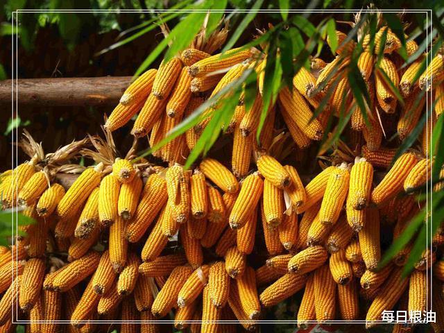 每日糧油:國慶中秋雙節第三天 小麥玉米價格持續上漲-圖2