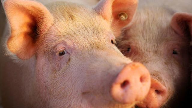 養豬3個消息:1好2壞,養豬人要提前做好準備,附13日豬價-圖4