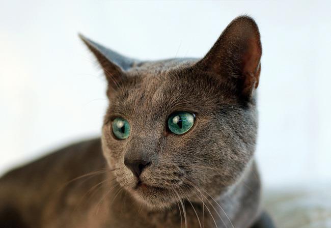 """俄羅斯藍貓——有著""""短毛種之貴族""""的美譽,並帶有東方的韻味-圖6"""