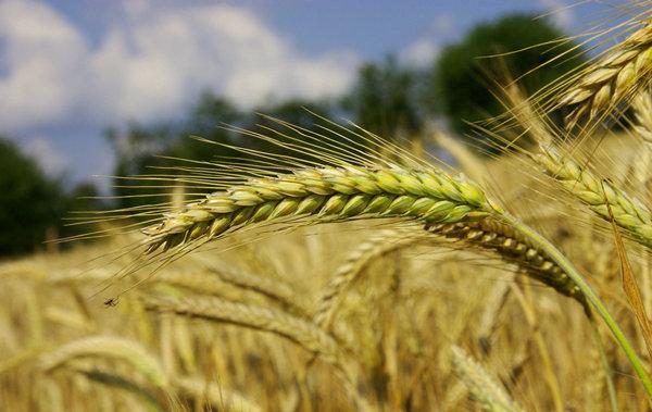 小麥價經歷過陣痛才能有甜頭!價格還會跌麼-圖2