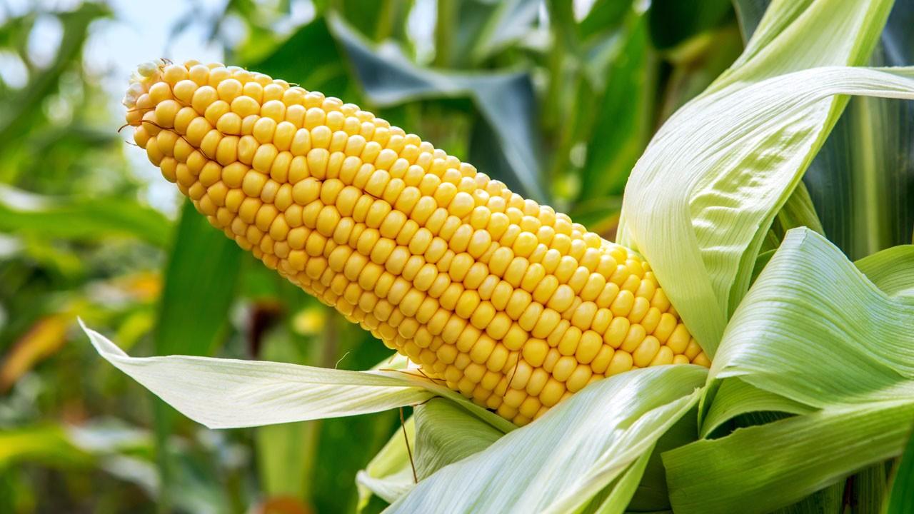 小麥價經歷過陣痛才能有甜頭!價格還會跌麼-圖3