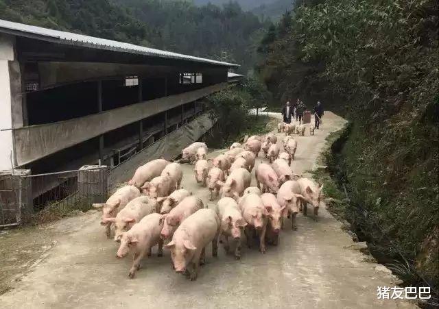 10月6日,豬價大范圍走跌,北方局地反彈,豬價要漲?答案來瞭!-圖3