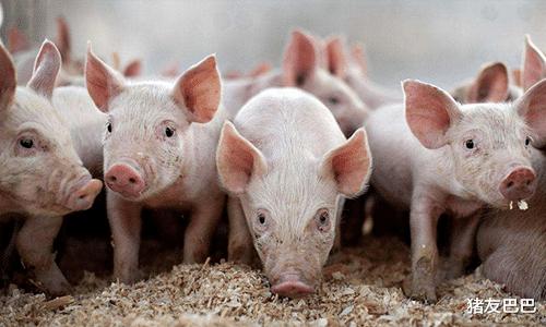豬價持續走跌,北方企穩跡象顯露,附10月11日明日豬價預測!-圖3