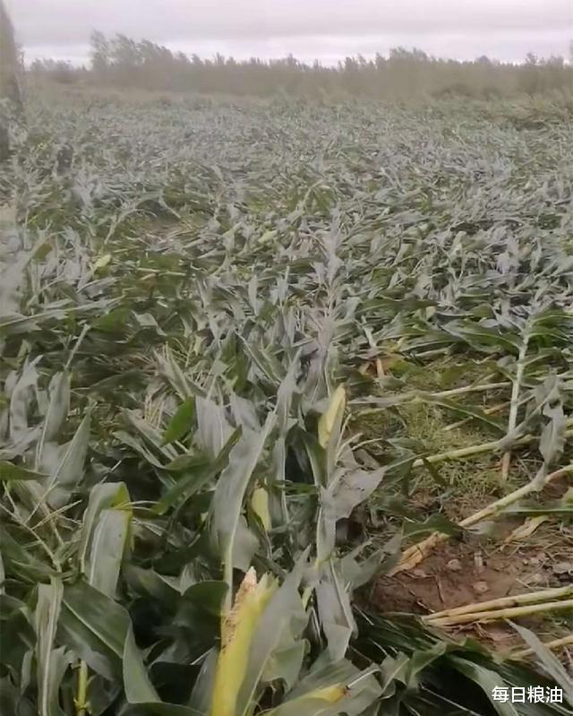 每日糧油:繼大豆玉米後 我國又成為本周美國小麥的第一大買傢-圖3