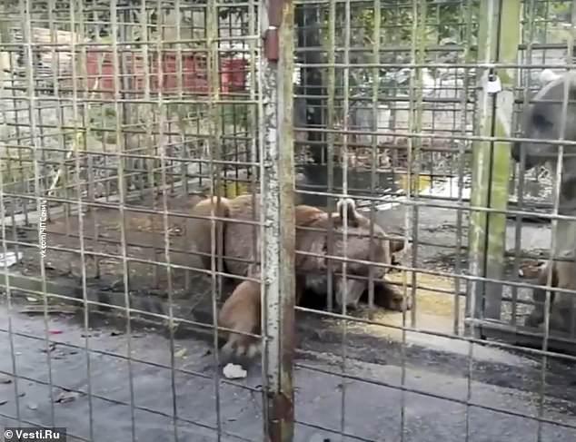 俄羅斯男孩靠近鐵籠合照,遭棕熊拖入籠中拋玩後撕碎-圖3