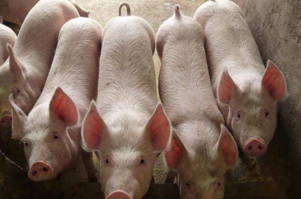 生豬價走跌,養豬人戰線聯盟土崩瓦解?專傢:豬肉好時代要來瞭-圖3