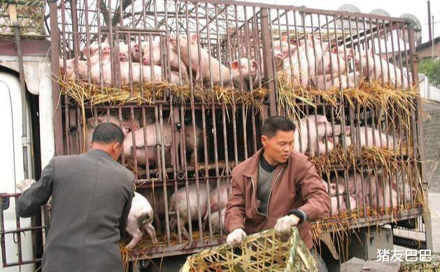毛豬價暴跌,10月降幅3.14元,局地豬價探底13.5元,肉價啥時降?-圖3