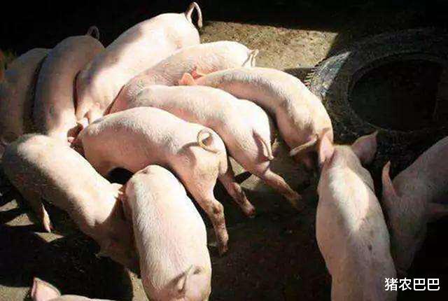 """豬價又是""""一片紅"""",10月豬市將如何走呢?向上,還是往下!-圖3"""