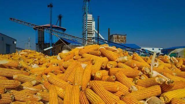 玉米價格再創年內高點!10月後,或出現下降-圖4