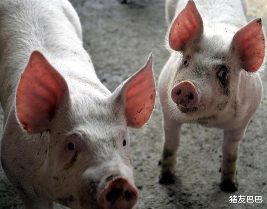 """15漲!豬價再次""""漲紅"""",要""""一飛沖天""""?豬價20元1斤有戲?-圖5"""