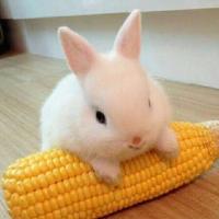喜欢吃玉米的兔子