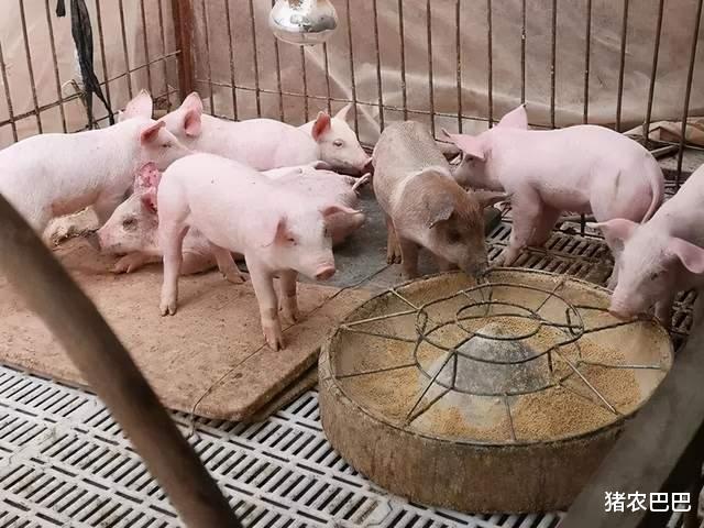 """豬價""""5連漲"""",9地豬價飄紅,節後的豬市會是如何呢?-圖3"""