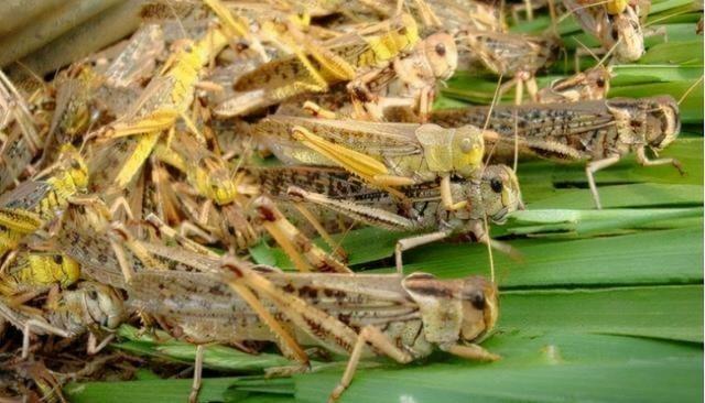 去年印度的4000億蝗蟲,為何一夜消失,怎麼做到的?這方法學不來-圖4