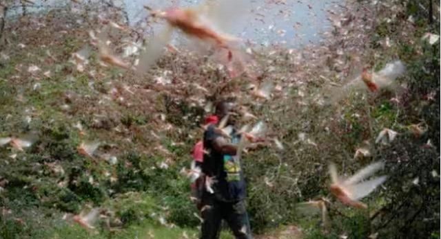 去年印度的4000億蝗蟲,為何一夜消失,怎麼做到的?這方法學不來-圖5