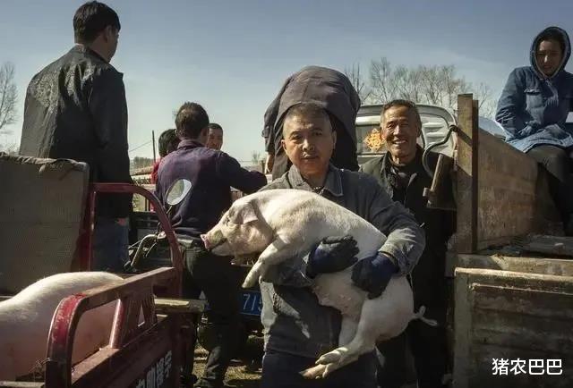 現在的豬價11元/斤,養豬戶們就叫苦瞭,到底是怎麼回事?-圖3