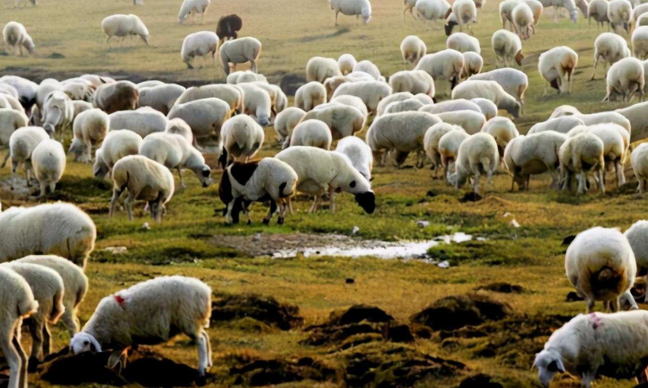蒙古國沒想到!3萬隻羊助中國渡難關後,得到回報讓美加俄眼紅-圖3