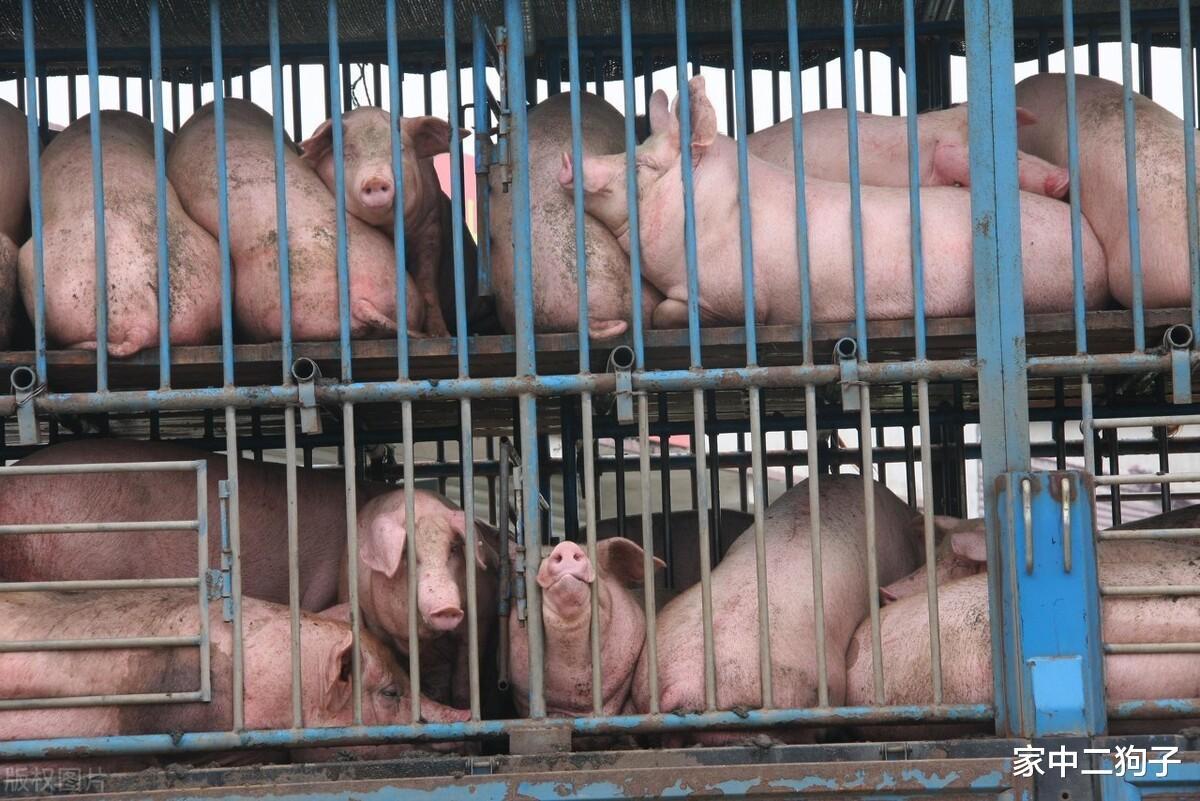 豬價墜入冰窟,行情13連跌,活豬禁運來襲,豬價真要一熊到底?-圖6
